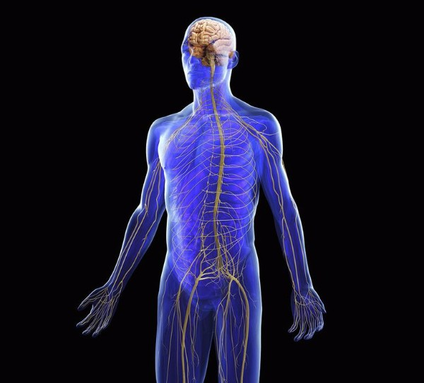 How The Nervous System Controls Balance Lerner Chiropractic